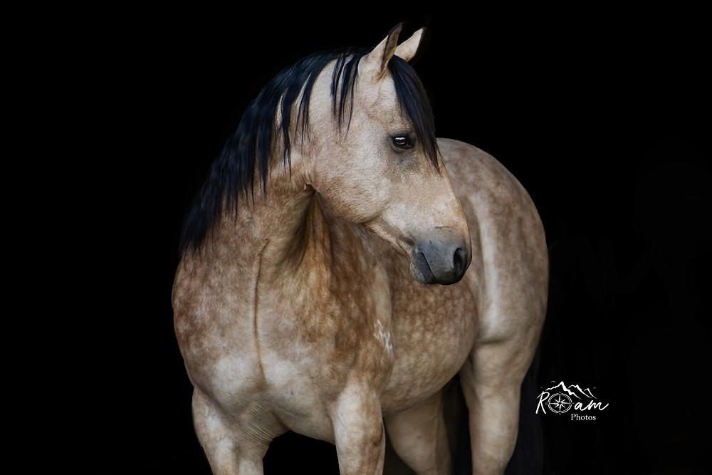Buckskin horse with dapples