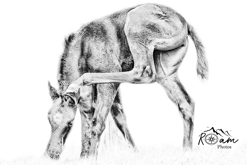 Foal scratching her ear