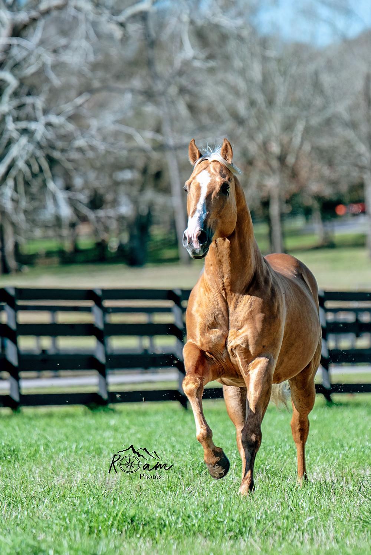 palomino quarter horse pittsburgh equine photographer