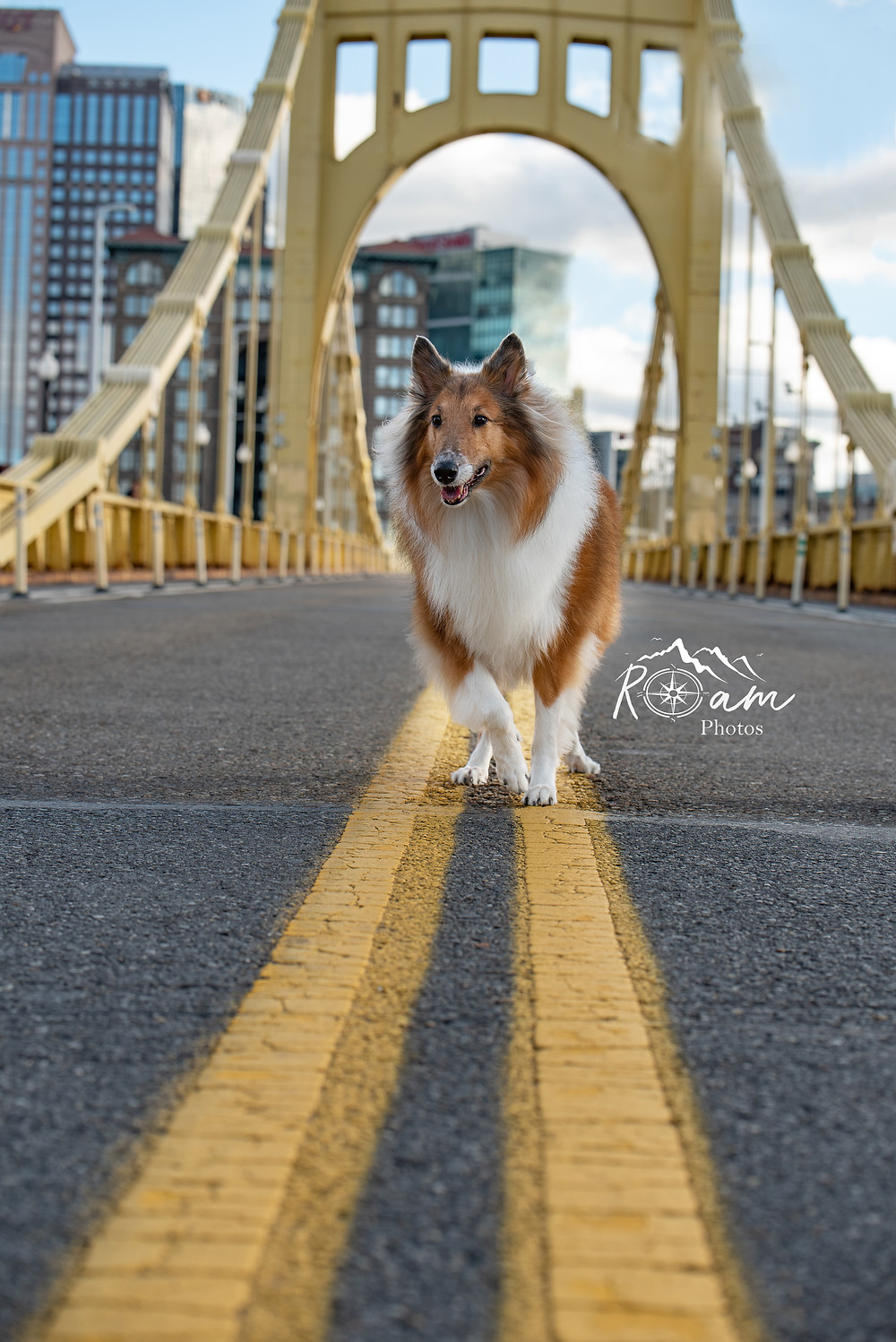 rough collie dog in pittsburgh