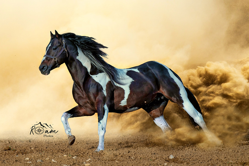 Paint horse stud running in the dust.