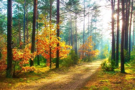 Scenery autumn forest. Sunny woodland. O