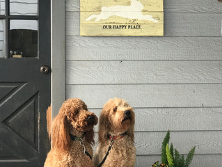 Springtime on The North 40 will bring summer Goldendoodle litters from Scarlett & Piper! Watch f