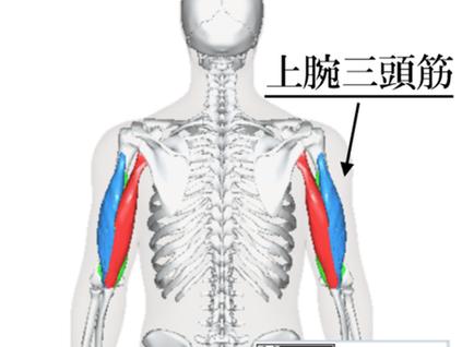 【二の腕の筋肉・上腕三頭筋(長頭・外側頭・内側頭)について】