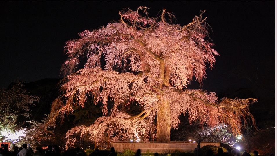 【円山公園】園内の枝垂れ桜は圧巻!