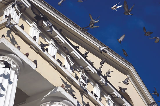 Pigeons nesting on university building