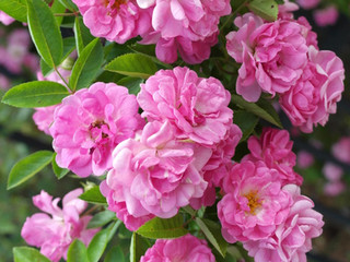 Surviving the Storm: The Peggy Martin Rose