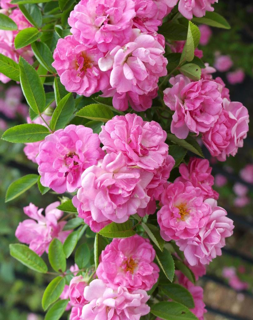 Peggy Martin roses