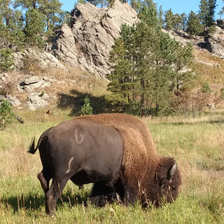 Buffalo Grazing in CSP 2018.jpg