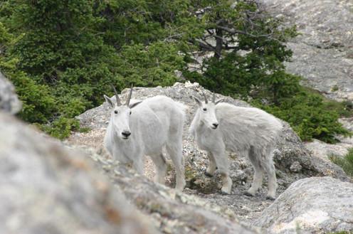 Harney Peak Mtn Goats.jpg