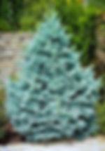 Colorado Blue Spruce.jpg