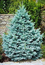 Colorado Blue Spruce.jpg