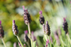 Geliebter Lavendel