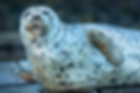 Harbour Seal.png