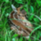 fawn 2.jpg
