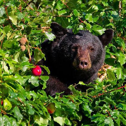 bear with apple.jpg