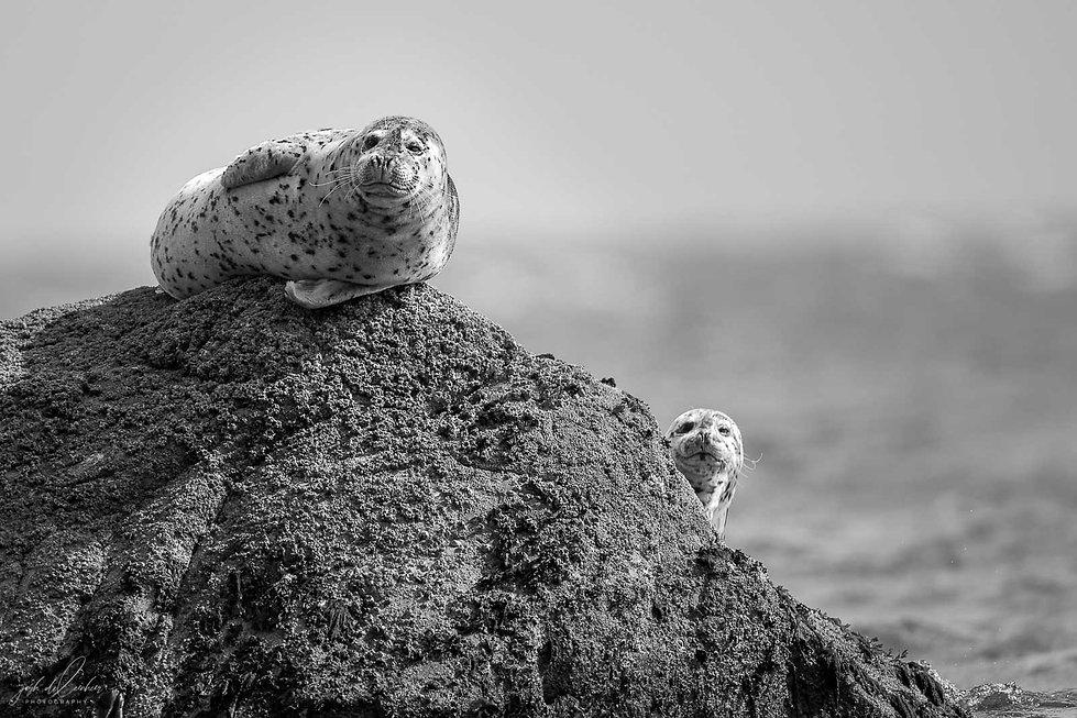 April-26,-2019---Harbour-Seals-2.jpg