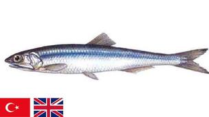 Evliya Çelebi ve Hamsi balığı / Evliya Çelebi and Hamsi fish