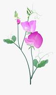 42-426533_sweet-pea-sweet-pea-flower-vec