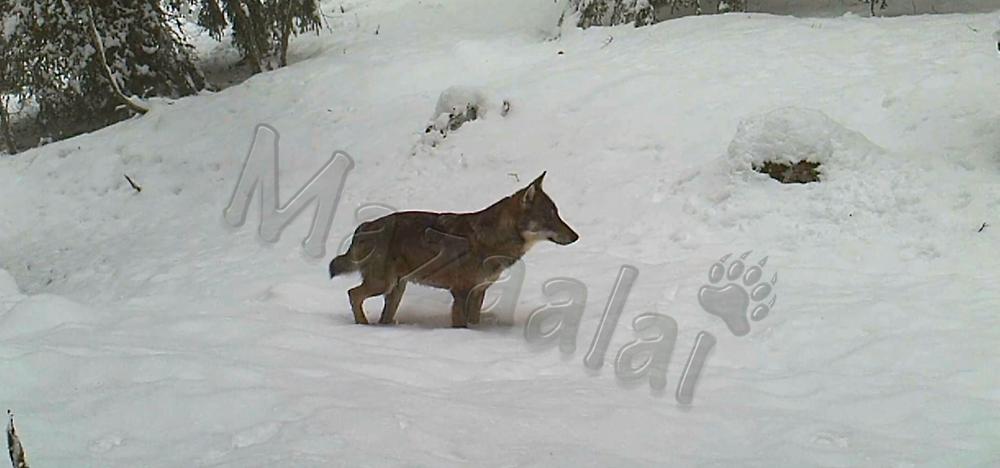 Loups Gris Alpes 2019
