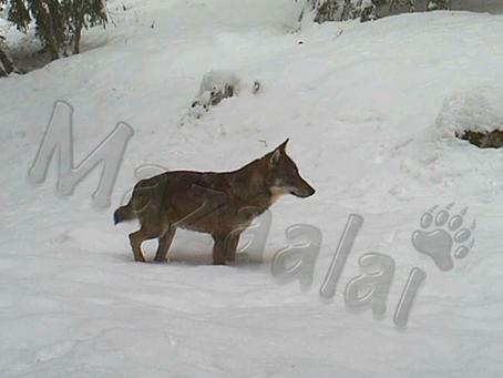 Suivi d'une meute de loups dans les Alpes