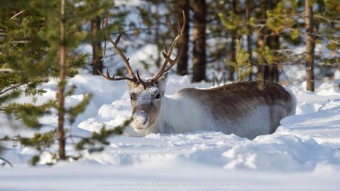 Renne sauvage dans la neige Norvége
