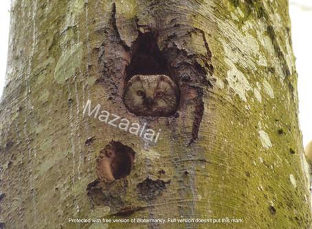 L'Association Mazaalai : suivi de la Chouette de Tengmalm