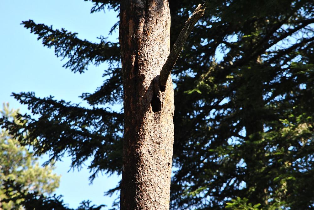 L'association Mazaalai répertorie, en collaboration avec l'ONF, les cavités de Pic noir, susceptibles de devenir des loges à Tengmalm. Ces arbres à cavité sont ainsi marqués et protégés.