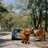 Autosafari met Schotse Hooglanders in de Beekse Bergen