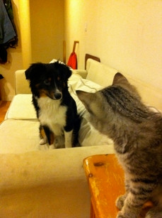 Mini Aussie Oz  & kitty friend Baxter.