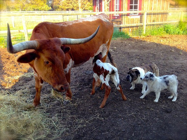 Watchful mama Boots the Longhorn keeping a close eye on premie calf Summer. Doc the bulldog and Bonnie Marie are pretty interested in their new friend, too! Thanks to Deborah for this great shot!