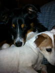 Brooks the Jack Russell & little bro Ozzie share a moment