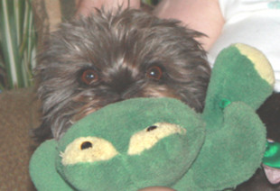 Bennie McGrew  with a stuffed toy he stole from a huge Rottweiler. Small dogs rule!