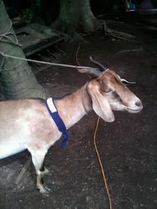 Una cabra.