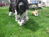 Magoon the Newfie & Gibson the Corgi, just two of the Warbington family dogs.