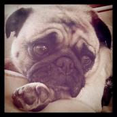 Pugs Rule!  Greta Siebert sent us this photo all the way from Park City, UT