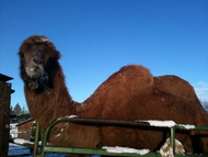 The Warbington's Bactrian camel Suki enjoying a snowy day in Tumalo!