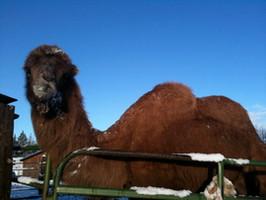 The Warbington's Bactrian camel Suki enjoying a snowy day in Tumalo!