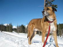 Client Timber, looking very handsome indeed during a recent outing  at Mt. Bachelor
