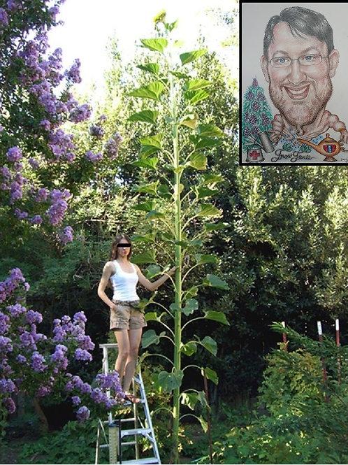 """Riesen Giant Sonnenblumen Samen """"Hybrid"""" Ultra Langwuchs #1 Das Garten Original#"""