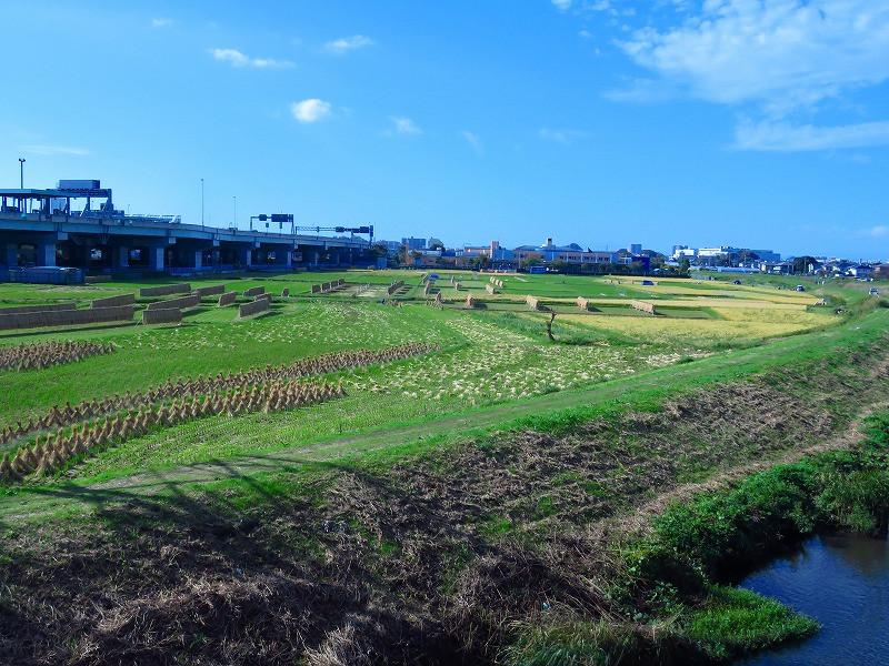 タゲリ米の里収穫期