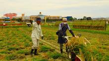 共同田稲刈りと黒米脱穀