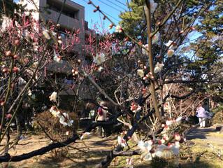 茅ヶ崎高砂緑地梅まつりに参加します