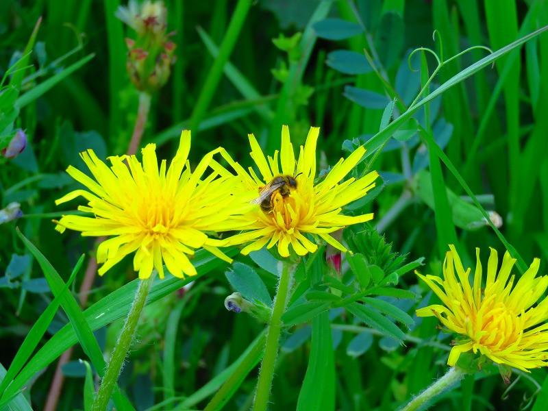 蜂とタンポポ