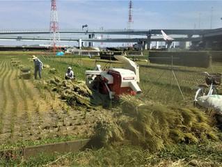共同田脱穀作業終了