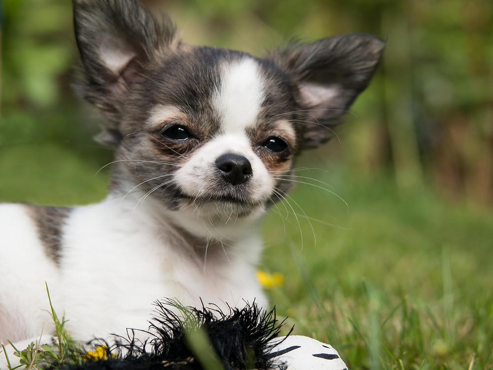 Happy chihuahua puppy