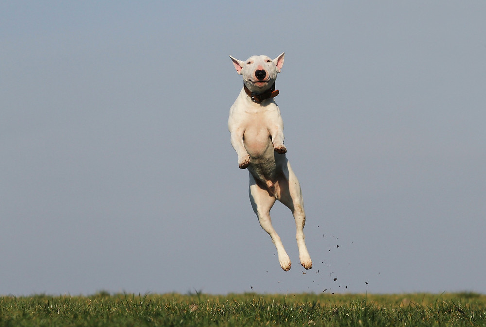 This bull terrier is not chasing his tail, but jumping for joy (about the thought of visiting Pet Perspective?)