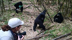 photos of gorillas.jpg
