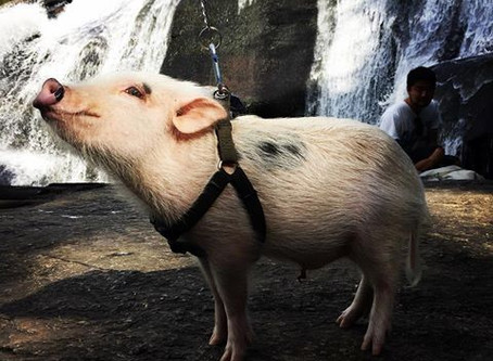 The Hydro-electric Pig....