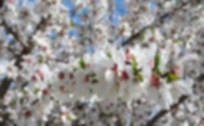 Organic Almond Blossoms | Big Tree Organic Farms